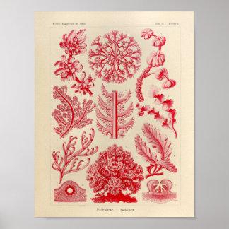 Vintage Florideae Color Ernst Haeckel Art Print