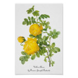 Vintage Flowers Floral, Yellow Roses by Redoute Posters