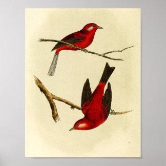 Vintage Flycatcher Bird Poster