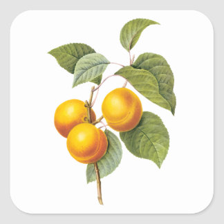 Vintage Food Fruit, Apricot Peach by Redoute Square Sticker