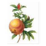 Vintage Food Fruit, Pomegranate by Redoute Postcard