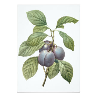 Vintage Food Fruit, Purple Garden Plums by Redoute Card