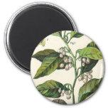 Vintage Food Herbs Spice, Nutmeg Plant Fruit Seeds Fridge Magnet
