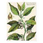 Vintage Food Herbs Spice, Nutmeg Plant Fruit Seeds Postcard