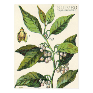 Vintage Food Herbs Spice, Nutmeg Plant Fruit Seeds Postcard