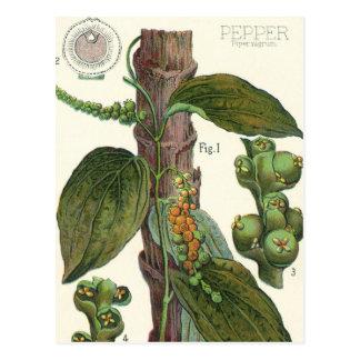 Vintage Food Herbs Spices, Black Pepper Plant Postcard