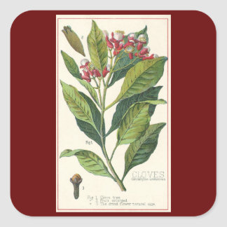 Vintage Food Herbs Spices, Botany of Cloves Square Sticker