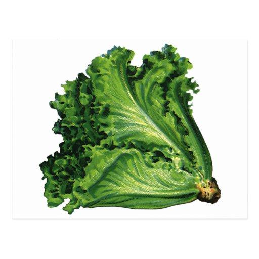 Vintage Foods, Vegetables, Green Leaf Lettuce Postcard