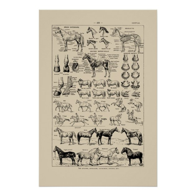 Vintage French Horse Breeds Anatomy Chart Poster Zazzle Com