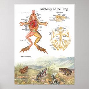 Anatomy Frogs Art & Wall Décor | Zazzle