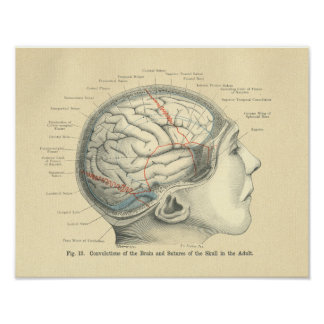 Vintage Frohse Anatomical Brain and Skull Poster