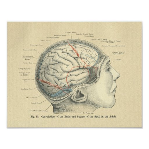 Vintage Frohse Anatomical Brain and Skull Posters