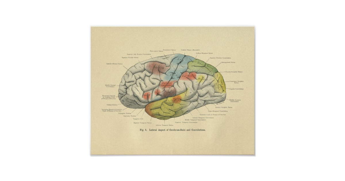 Vintage Frohse Anatomical Brain Sensory Areas Poster | Zazzle.com