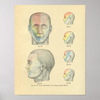 Vintage Frohse Anatomical Sensory Cranial Nerves Poster