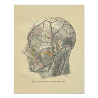 Vintage Frohse Anatomical Vessels of the Head Poster