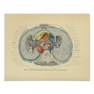 Vintage Frohse Anatomy Cross Section Poster
