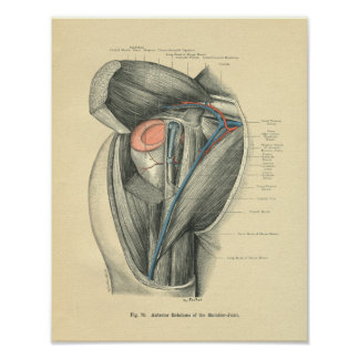 Vintage Frohse Anatomy of Arm & Shoulder Print