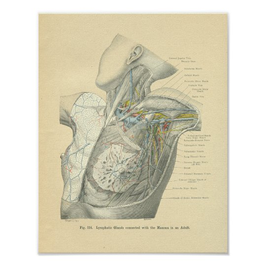 Vintage Frohse Anatomy of Female Torso Poster