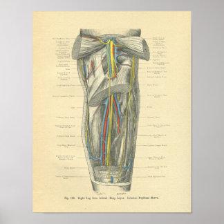 Vintage Frohse Anatomy of Knee & Leg Poster