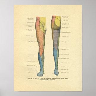 Vintage Frohse Leg Nerve Innervation Print