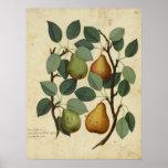 Vintage Fruit Botanical Poster Pear Illustration