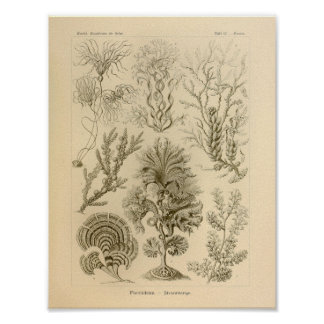 Vintage Fucoideae Color Ernst Haeckel Print