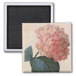 Vintage Garden Flowers, Pink Hydrangea Hortensia 2 Inch Square Magnet