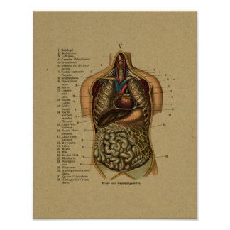 Vintage German Internal Anatomy Print