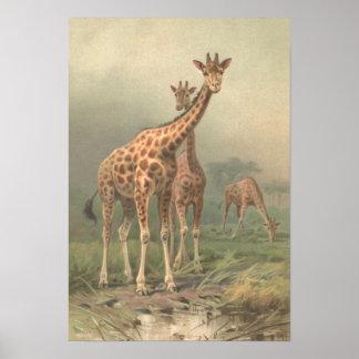 Vintage Giraffe 1894 Print African Plains