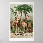 Vintage Giraffe Illustration Print/Poster Poster
