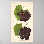 Vintage Grapes Poster