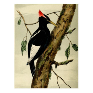 Vintage Great Crested Woodpecker Postcard