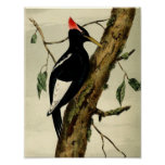 Vintage Great Crested Woodpecker Poster