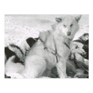 Vintage Greenland, dog team leader in the snow Postcard