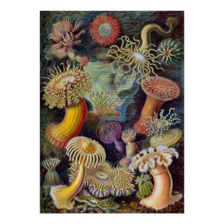 Vintage Haeckel Sea Anemone Poster