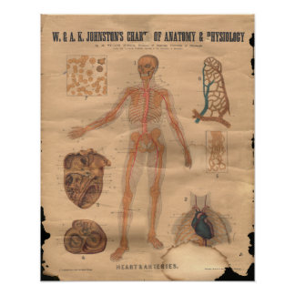 Vintage Heart Arteries Anatomy Chart 1906 Posters