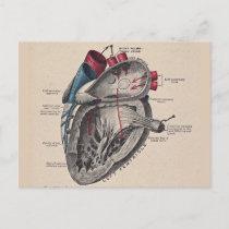 Vintage Heart Cardiovascular system anatomy Postcard