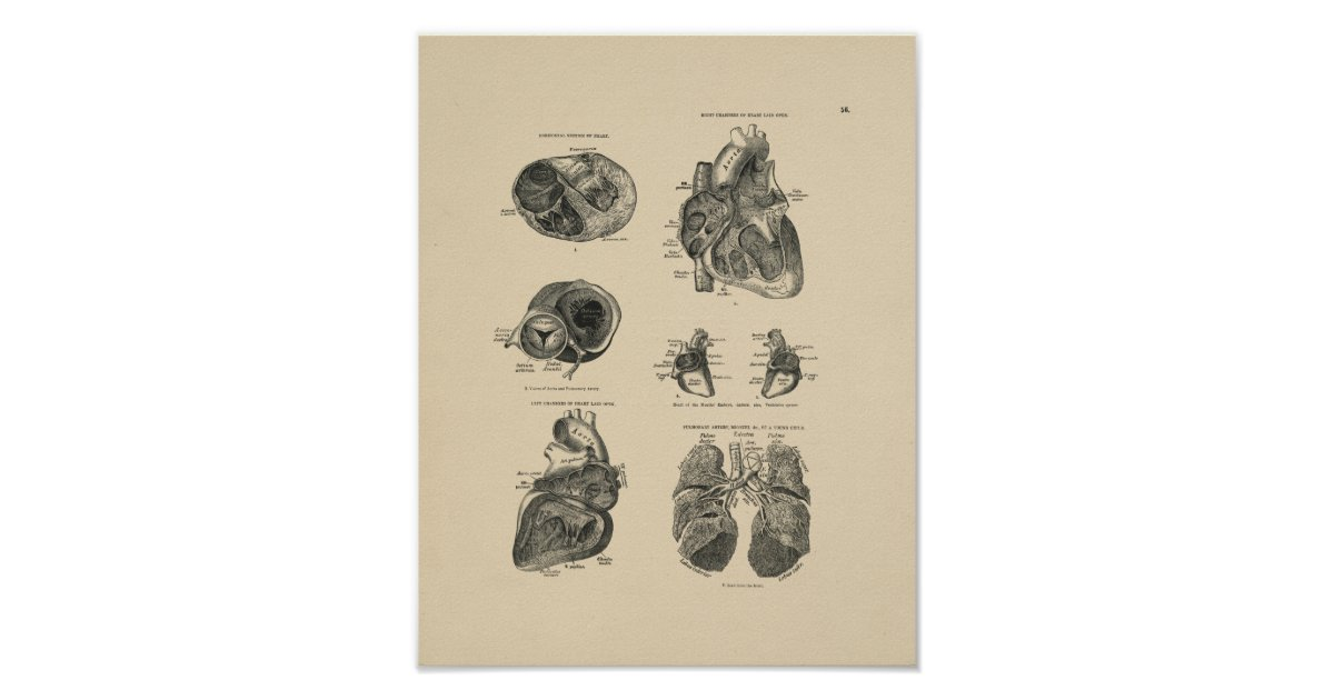 Vintage Heart Lung Anatomy 1880 Print Zazzle
