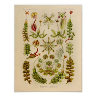 Vintage Hepaticae Color Ernst Haeckel Art Print