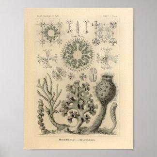 Vintage Hexactinellae Color Ernst Haeckel Print