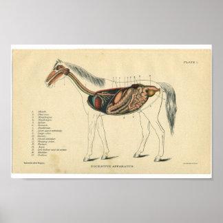 Vintage Horse Anatomy Print Digestive System