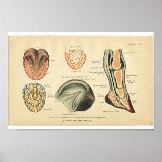 Vintage Horse Anatomy Print Feet Hoof