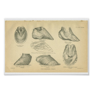 Vintage Horse Anatomy Print Foundered Feet
