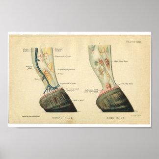 Vintage Horse Anatomy Print Hoof