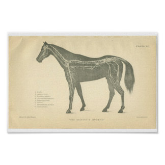 Vintage Horse Anatomy Print Nervous System