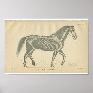 Vintage Horse Anatomy Print Skeleton