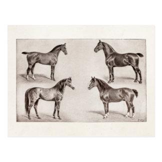 Vintage Horse Arabian Hunter Horses Illustration Postcard