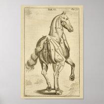 Vintage Horse Muscle Anatomy Art Print