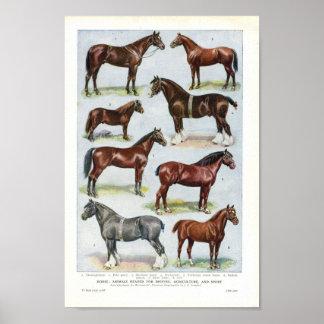 Vintage Horse Print 1908 Edwardian Breeds