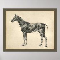 Vintage Horse Veterinary Muscle Anatomy Print